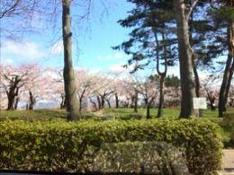 五稜郭の桜1.jpg