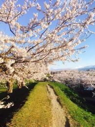 五稜郭の桜4.jpg