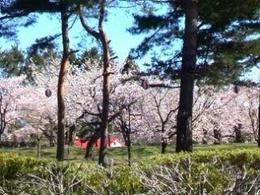 五稜郭の桜3.jpg