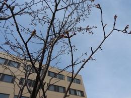 エゾヤマザクラ 4月25日.JPG