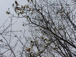 コブシの花 4月26日.JPG