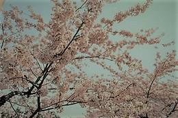 函館公園 ソメイヨシノ.jpg