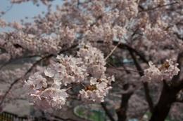 函館公園の桜.jpg