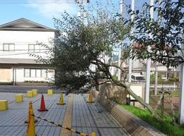 台風で傾いたグミの木.JPG