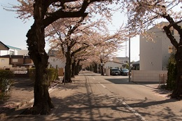 桜散る.jpg