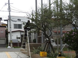 立て直したグミの木.jpg