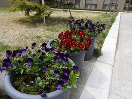 花壇のお花 4月26日.JPG