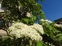 ナナカマドの白い花.JPG