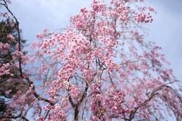 五稜郭公園のしだれ桜.jpg