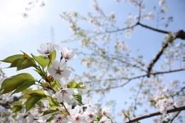 五稜郭公園の桜.jpg
