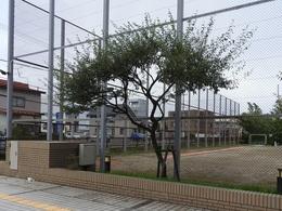 台風前日のグミの木.JPG